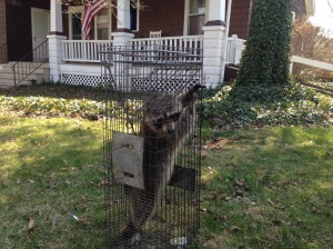 Raccoon Removal Moorestown , Nj