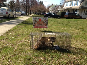 Raccoon Removal Medford , New Jersey 08055