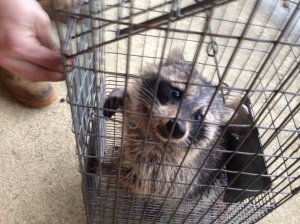 Raccoon Removal from Attic Mount Laurel New Jersey