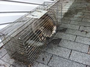Raccoon removal from attic Tabernacle , New Jersey