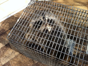 Raccoon Damage to attic Willingboro , New Jersey